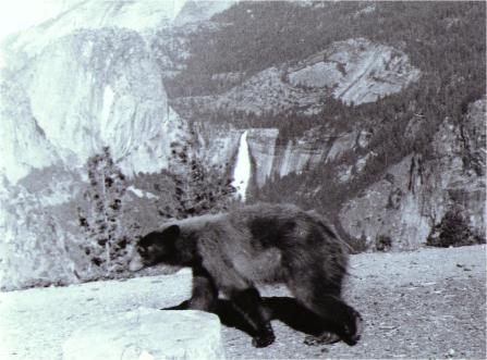 Brown Bear Yosemite National Park 1970 &copy Bruce Perdue all rights reserved.